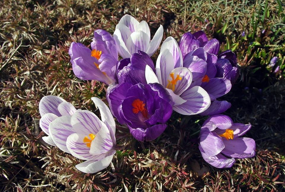 Flower, Krokus, Spring, Nature, Plant, Blooming