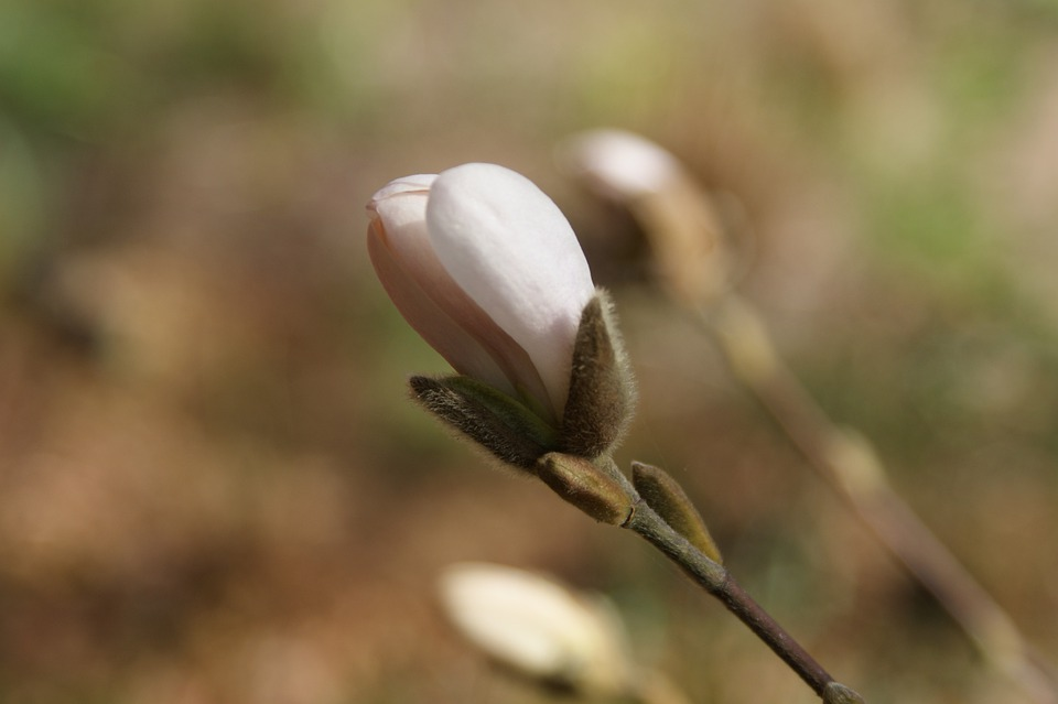 Bud, Plant, Spring, Magnolia, Garden