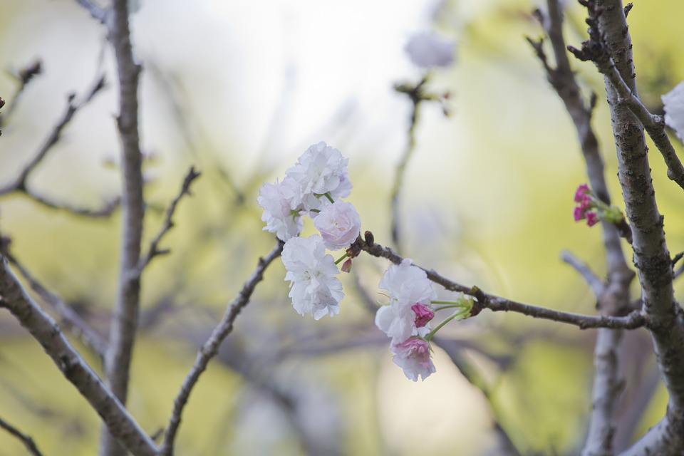 Plant, Cherry Blossoms, Spring