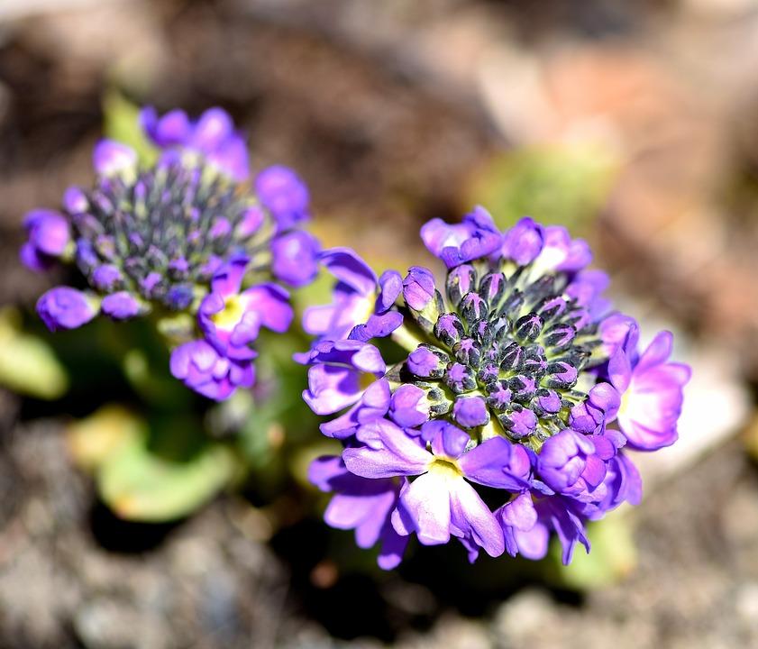 Drumstick, Plant, Flower, Purple, Violet, Close, Spring