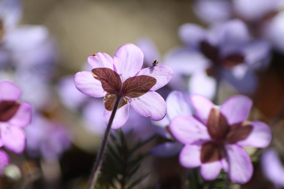 Hepatica, Plant, Flower, Spring, Spring Plant