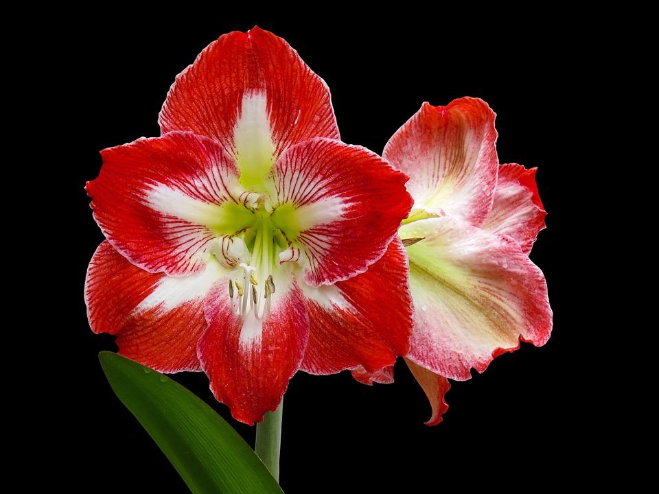 Flower, Nature, Plant, Amaryllis, Petal, Spring