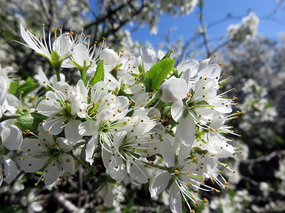 Cherry Blossom, Plant, Spring, White, Plum