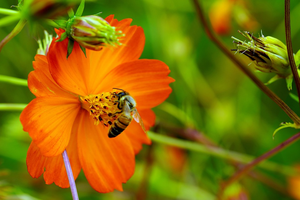 Yellow Cosmos, Bee, Flowers, Nature, Plants, Spring