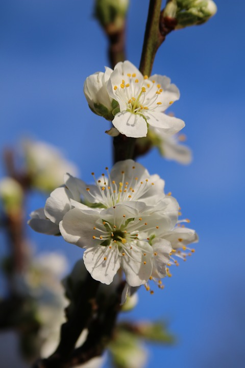 Blossom, Plum Blossom, Spring, Flora, Branch, Blooming