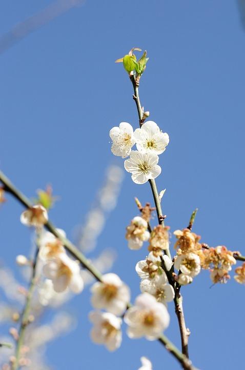 Plum, Plum Blossom, Flower, Spring, Sunshine, Tree