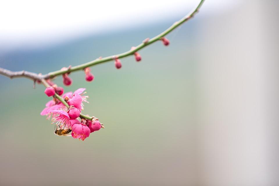 Spring, Plum, Geoje, Republic Of Korea Landscape