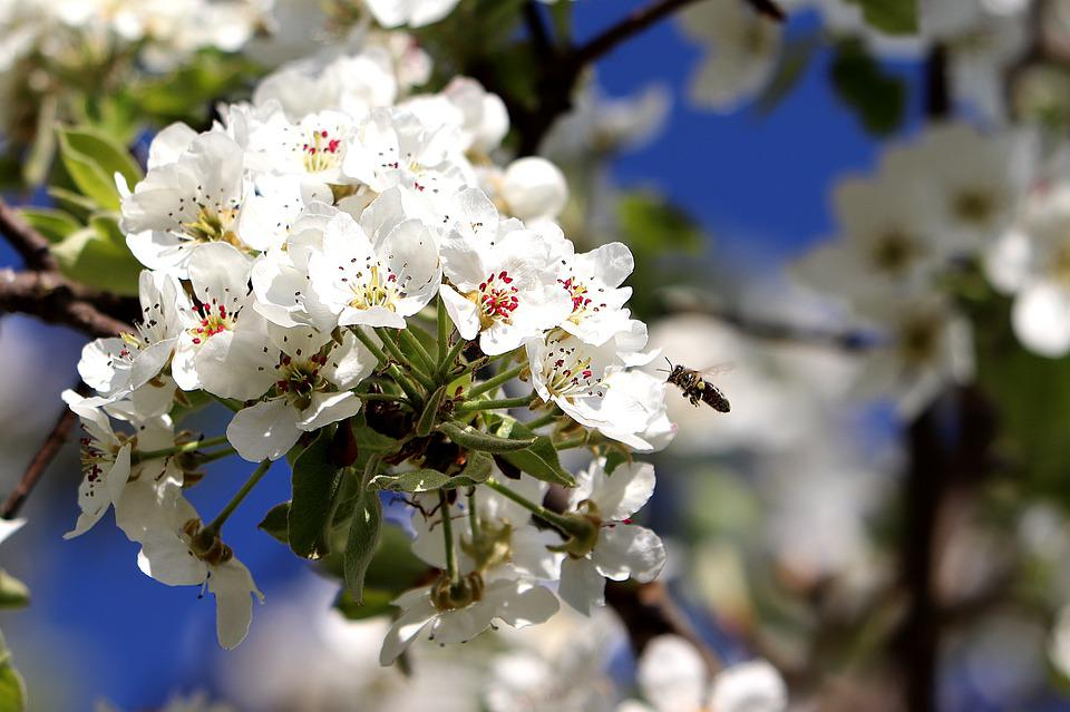 Blossom, Bee, Spring, Fruit Tree, Pollination