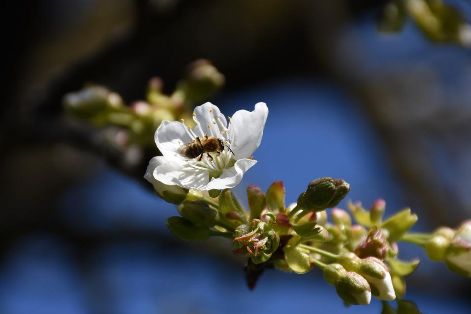 Bee, Insect, Flower, Buds, Branch, Pollination, Spring