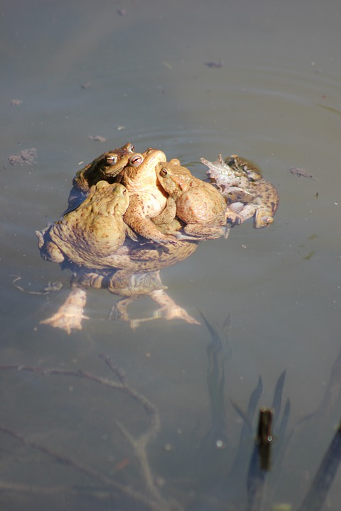 Toads, Pile, Pond, Animal, Pairing, Waters, Spring