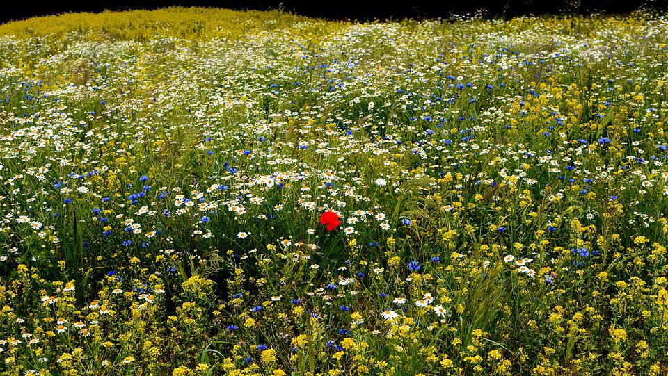Meadow, Spring, Flowers, Poppy, Lonely, Different