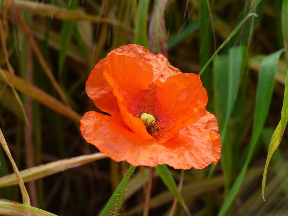 Poppy, Spring, Malta, Island, Mediterranean, Bloom