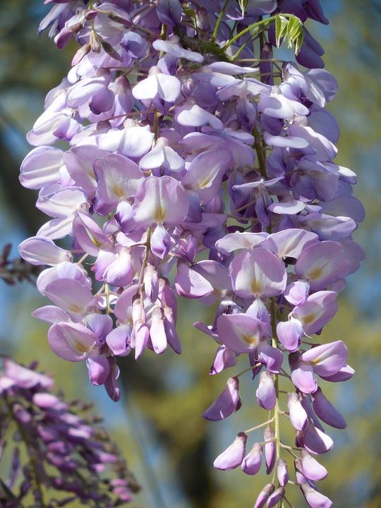 Wisteria, Bloom, Purple, Flower, White, Lilac, Spring