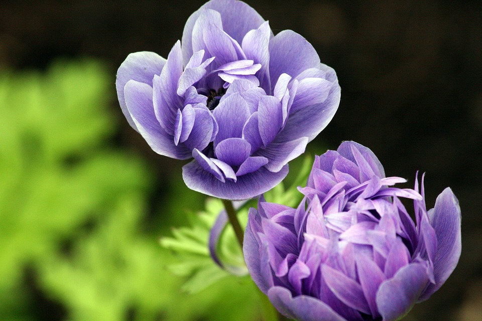 Ranunculus, Flower, Purple, Bloom, Spring, Blossom