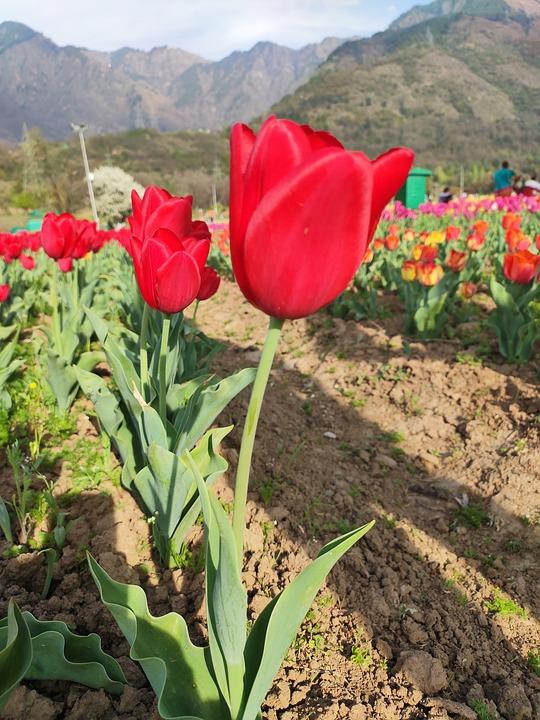 Tulips, Flowers, Spring, Garden, Bloom, Kashmir, Red