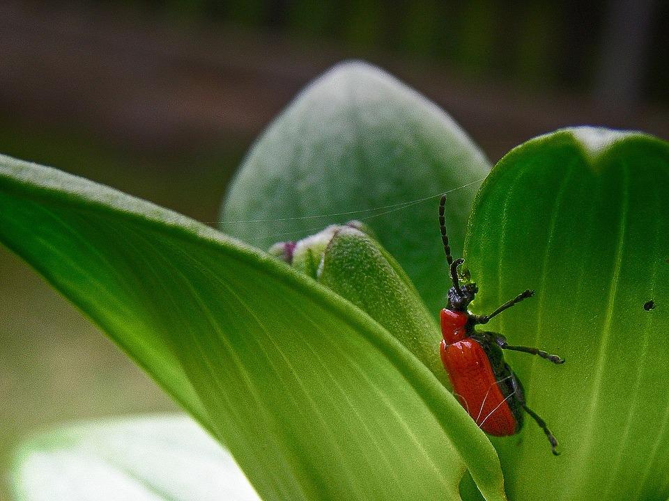 Beetle, Insect, Spring, Red, Green, Lilium