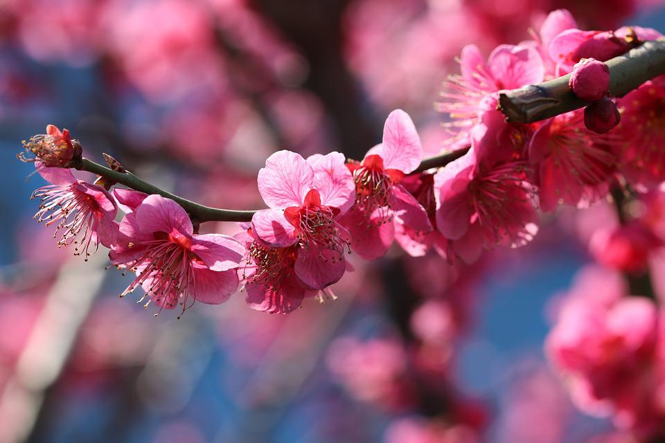 Red Plum, Spring, Spring Flowers, Nature, Flowers, Pink