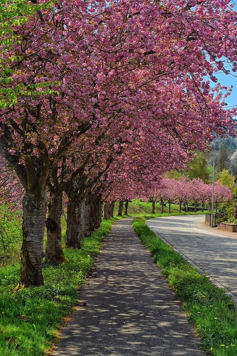 Cherry Blossom Tree-lined Avenue, Road, Pink, Spring