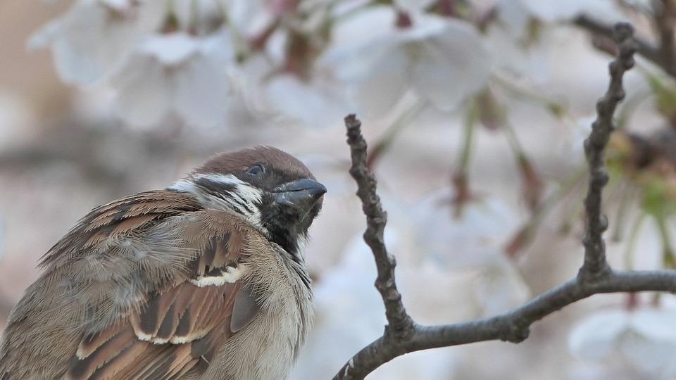 Bird, Sakura, Spring, Cherry Blossom, Bloom, Tree, Pink