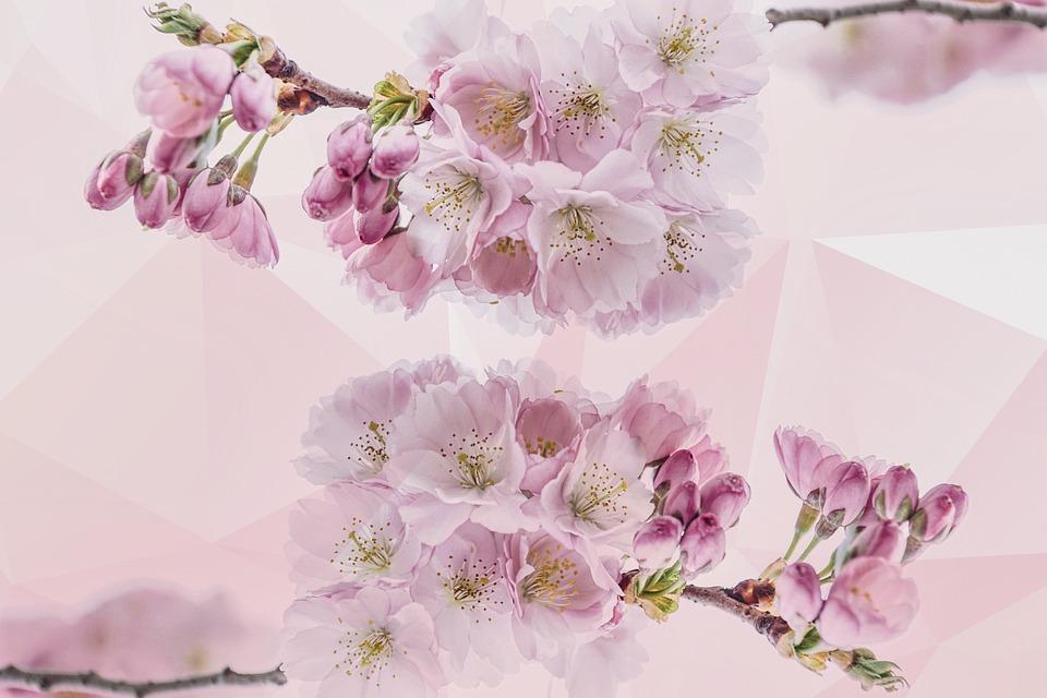 Cherry Blossoms, Petals, Nature, Tree, Spring, Sakura