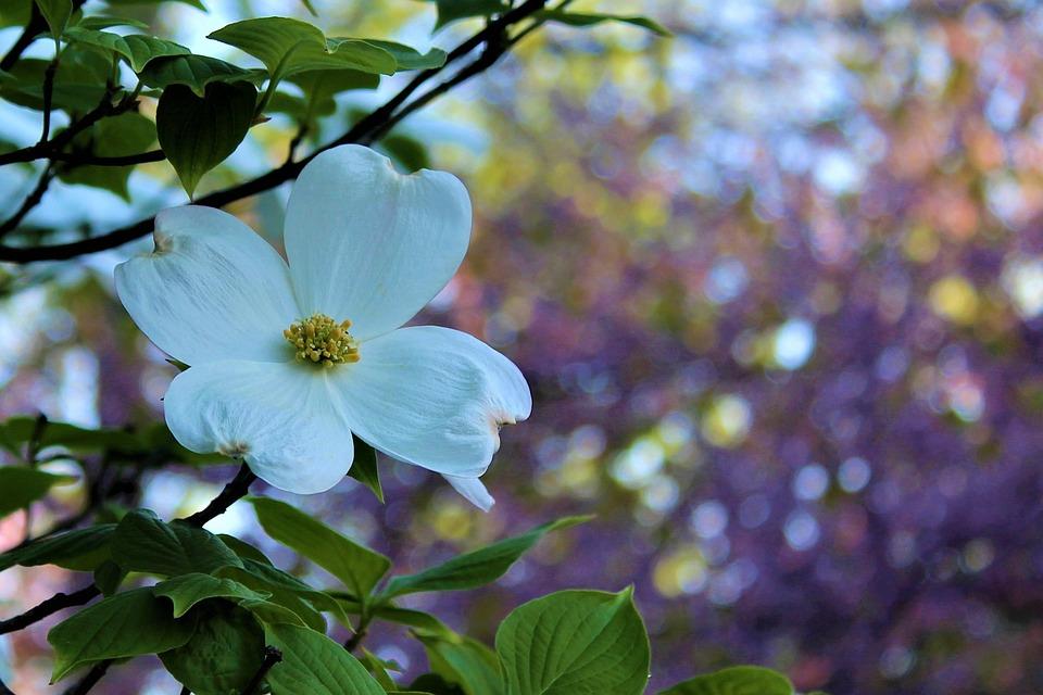 Free photo spring season flower bloom springtime dogwood max pixel dogwood spring bloom flower season springtime mightylinksfo