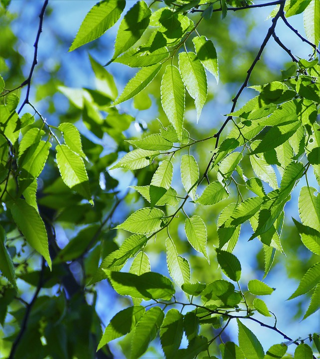 Spring, Fresh Green, Blue Sky, Show Through, Vein
