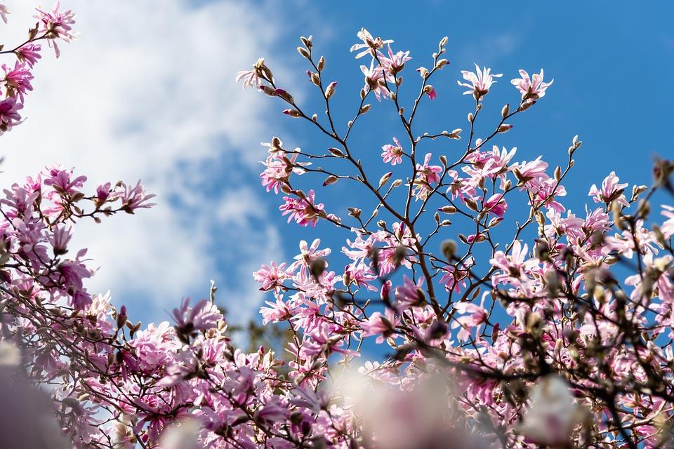 Magnolia, Bloom, Sky, Spring, Canada, Vancouver Island