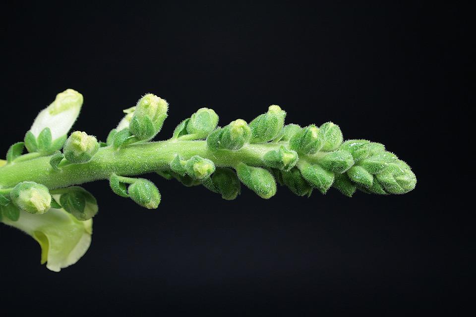 Snapdragons, Flowers, Nature, Garden, Botany, Spring