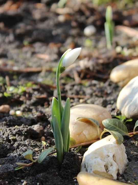 Snowdrop, Spring, Nature, Spring Flower, Flower