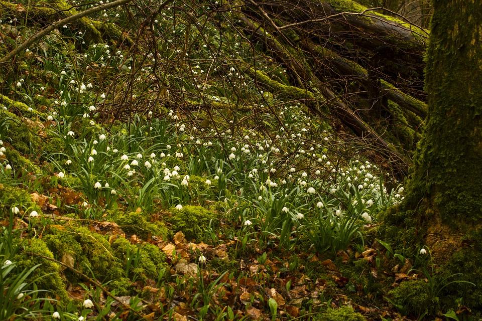 Snowflake, Snowdrop, Spring Flower, Spring