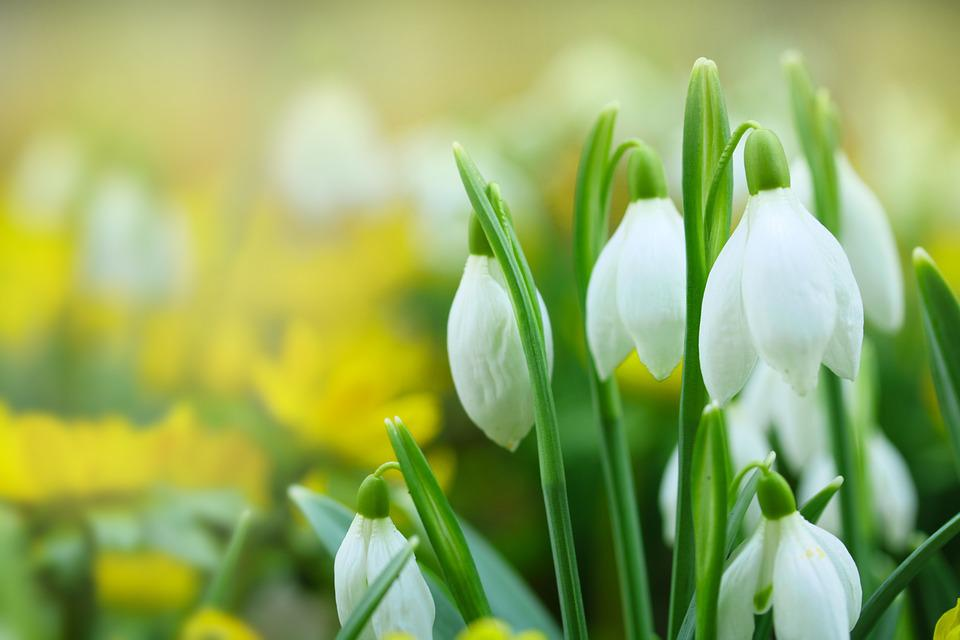Free Photo Spring Snowdrops White Flowers Flower Bulbs Max Pixel