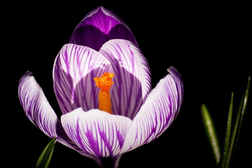 Crocus, Spring, Early Bloomer, Spring Flower