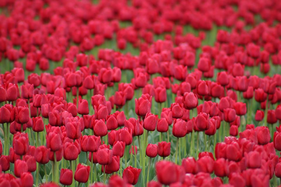 Free photo spring spring flower nature red flowers tulips max pixel tulips red flowers spring nature spring flower mightylinksfo Image collections