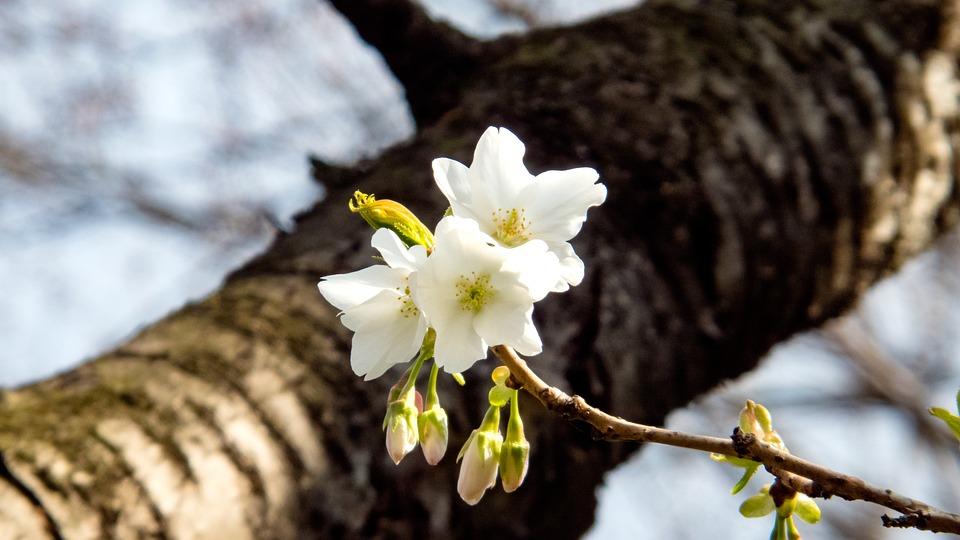 Cherry, Spring, Spring Flowers, Cherry Tree, Blue Sky