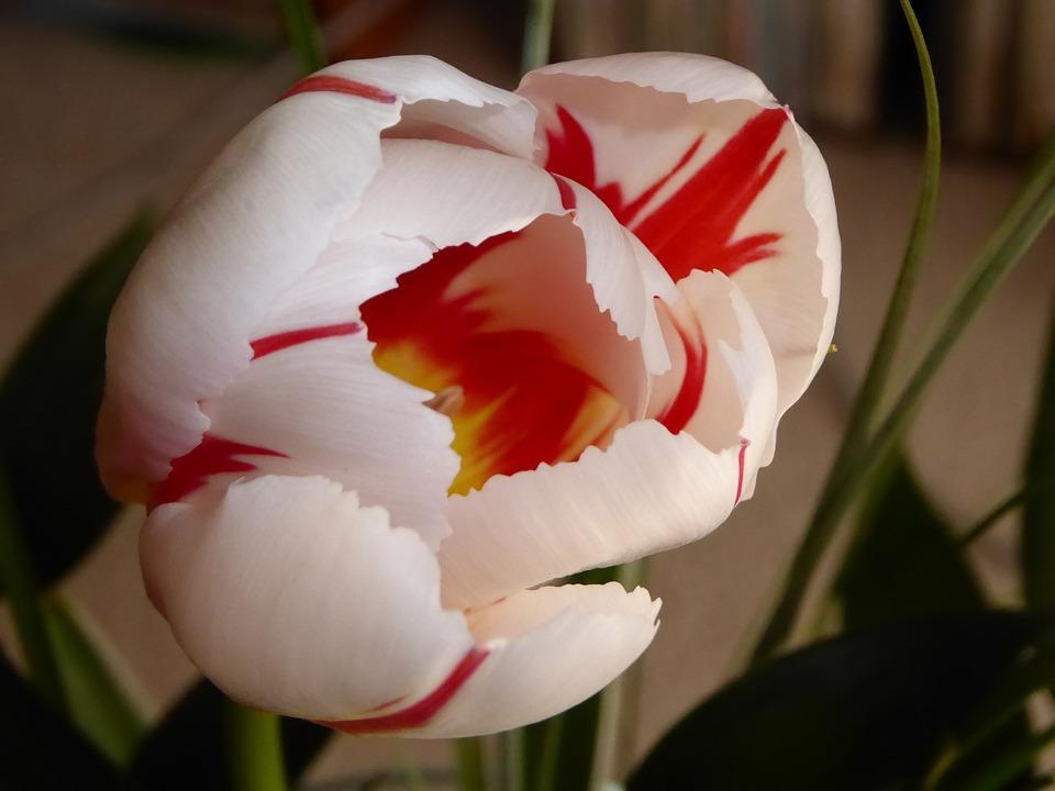 Flower, Tulip, Spring, Spring Flowers