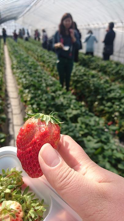 Strawberry Picking, Spring, Vinyl House