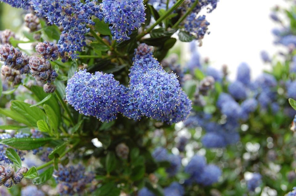 Flower, Blue, Shrub, Garden, Céanothe, Spring, Summer