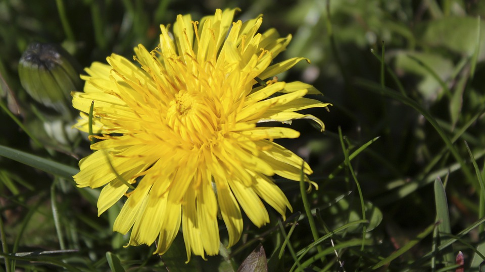 Dandelion, Grass, Yellow, Color, Summer, Spring, Nature
