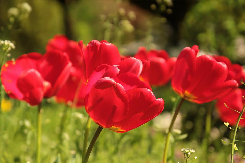 Flower, Tulips, Red, Spring, Sun