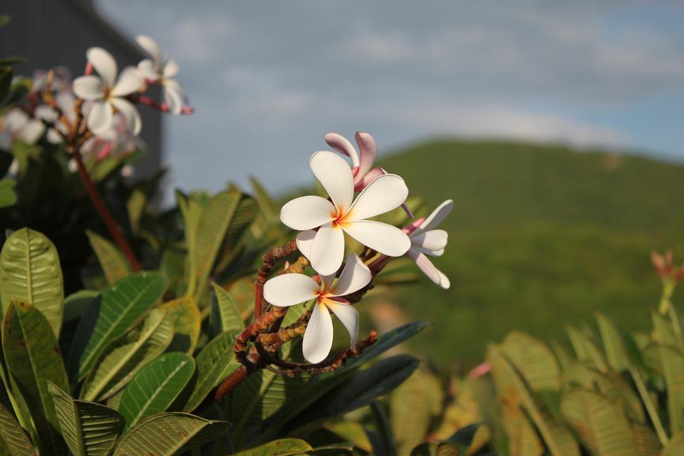 Thai Flowers, Thailand, Plumeria, Summer, Spring
