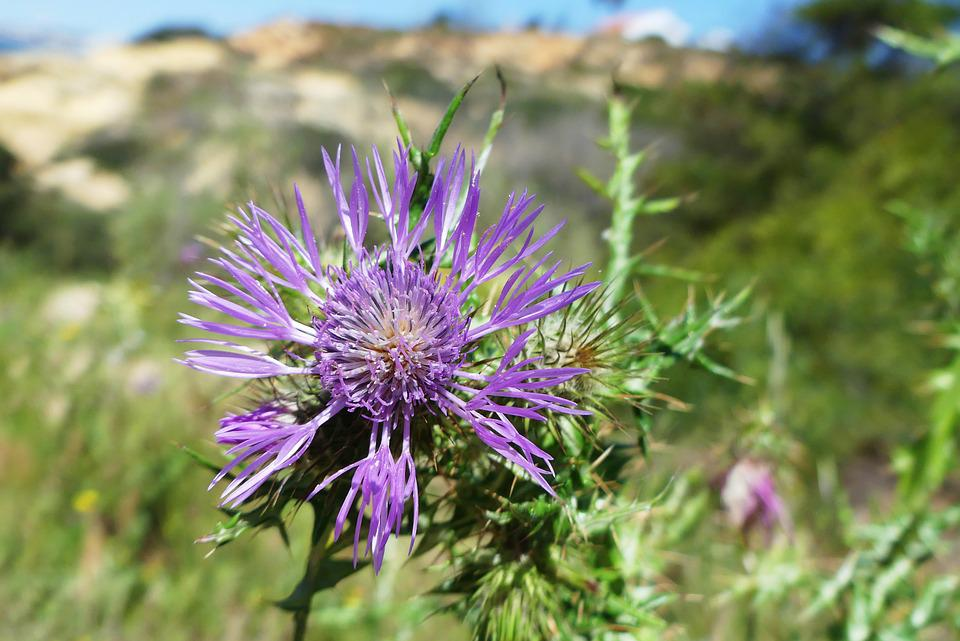 Flower, Thistle, Spring, Nature, Flower Of The Field