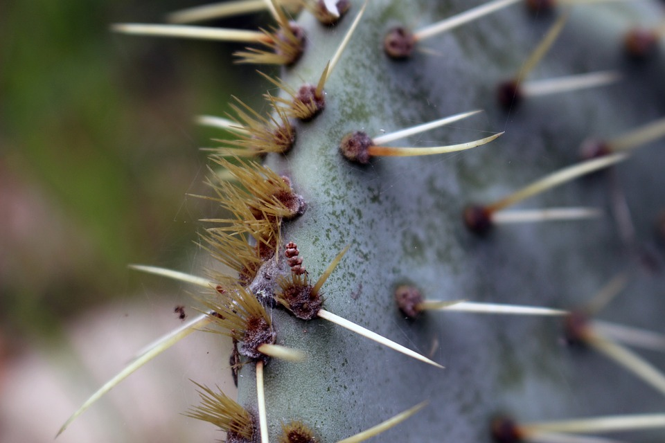 Cactus, Spring, Succulent Plant, Prickly Pear, Thorns