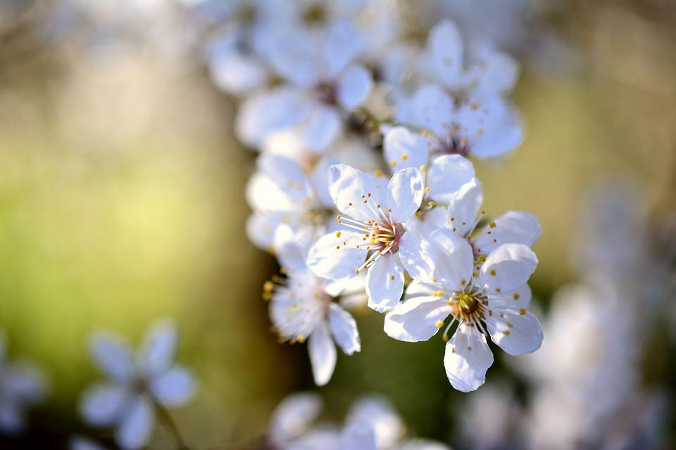 Cherry Plum, Tree Blossoms, White Flowers, Spring