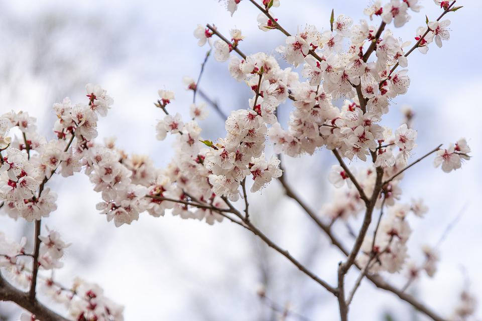 Cherry, Blooms, Spring, Tree, Pink, Nature, Flower