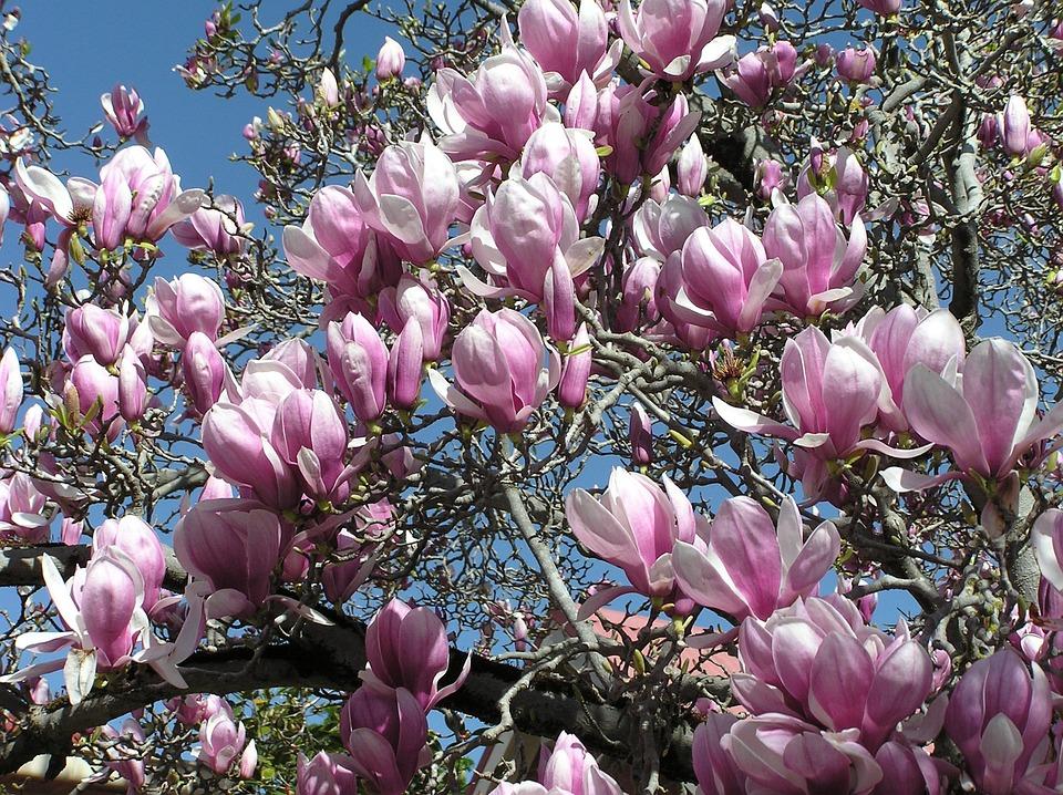 Magnolia, Tree, Spring