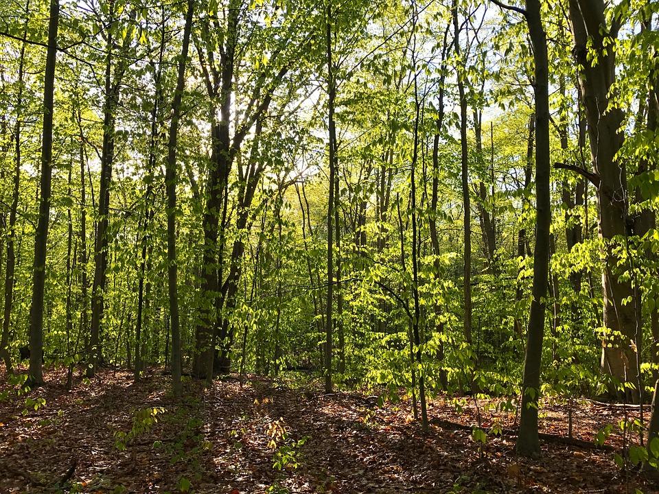 Woods, Spring, Green, Leaves, Trees, Sunlight, Morning