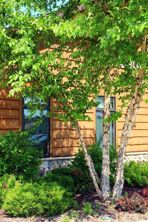Birch Tree, Summer, Green, Trunk, Wood, Spring
