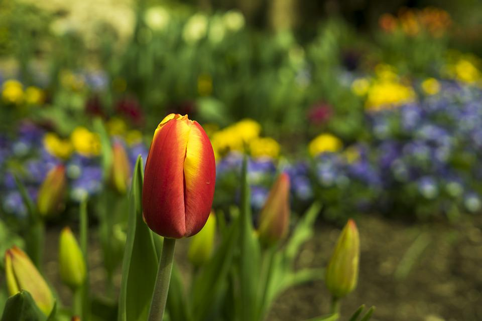 Tulips, Tulip, Spring, Flower, Flowers, Red, Nature