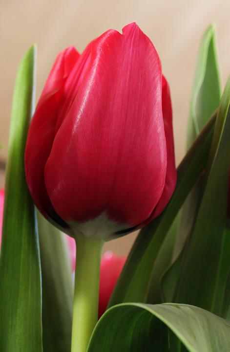 Red, Tulip, Spring, Green Flower, Nature, Flowers