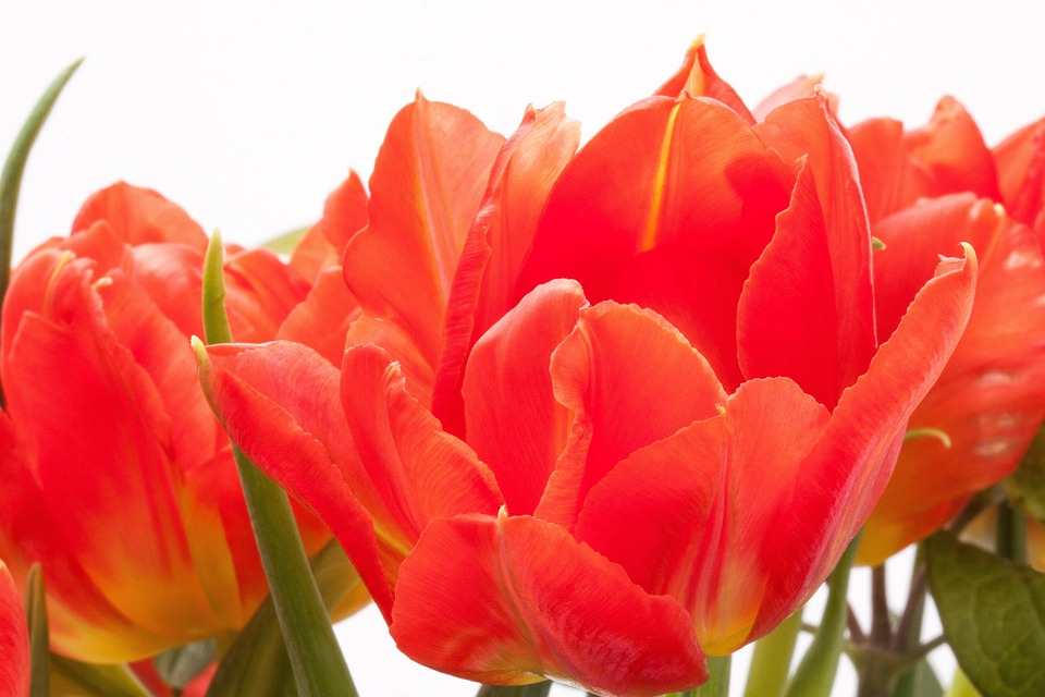Tulips, Lily, Spring, Nature, Flowers, Tulip